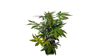 DecoBudz Original Artificial Cannabis Marijuana Hemp Plant 15-18 inches Tall
